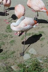 San Francisco Zoo, Flamingos