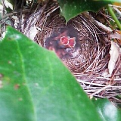 Little baby cardinals waiting for mother to return with food. There is one speckled egg left in there. #nature #birds #progress #spring #nest #cardinal (Genevievery) Tags: square squareformat normal iphoneography instagramapp uploaded:by=instagram