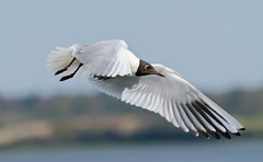 Seagull in flight (photogeoff1) Tags: