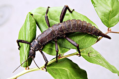 Giant Spiny Stick Insect (Korkeasaaren elintarha) Tags: animals bug zoo bugs korkeasaari zooanimals helsinkizoo hynteinen tkk elintarha hgholmen eurycanthacalcarata djurgrd giantspinystickinsect korkeasaarenelintarha hgholmensdjurgrd okapiru