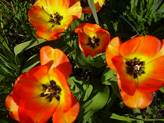 May2013 037 Tulipa 'American Dream.' (monica_meeneghan) Tags: flowers spring flowersonflickr chariotsofartists chariotsofartists2