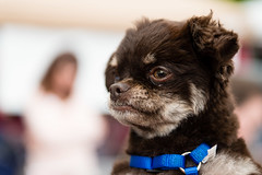 Gremlin (Knight725) Tags: dog pennslanding d800 2470f28 adoptionevent