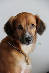 Merit (Alessandra Pak) Tags: dog cute beautiful mutt cachorro fox lata srd vira adotaretudodebom
