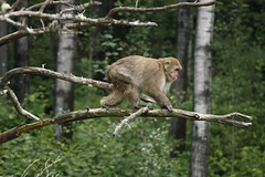 Macaque japonais (Jessica Boulianne) Tags: zoo singe macaque japanesemacaque macacafuscata stflicien macaquejaponais macaquesjaponais zoosauvagedestflicien