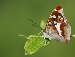 Purple emperor (Mike Mckenzie8) Tags: uk iris wild macro male green canon butterfly insect oak outdoor wildlife willow his british majesty sallow apatura