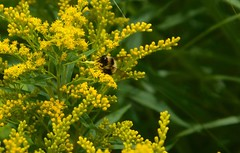 Bee on goldenrod (devoutly_evasive) Tags: yellow goldenrod bee insect bumblebee wildflowers wildflower ontario canada northern northwestern