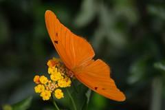 Just Visiting (ACEZandEIGHTZ) Tags: nikon d3200 butterfly insect flying dryas iulia orange julia nature macro closeup depthoffield