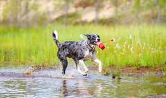 30.7 (225) (Contact: krista.rosenlof@gmail.com (Fin, Eng)) Tags: toberoi apache riemu joy blue merle bordercollie border collie swimming swim summer water lighthouse toy dog