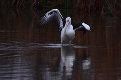 Wing up (Luke6876) Tags: australianpelican pelican bird animal wildlife australianwildlife
