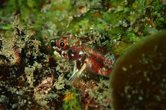 White Banded Triplefin Portrait (Gomen S) Tags: fish animal wildlife nature hk hongkong china asia tropical 2016 tg3 pt056 olymups diffuser ring flash rocky ocean sea marine diving underwater afternoon autumn