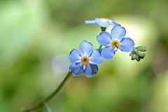 Waldvergissmeinnicht (DianaFE) Tags: dianafe blüte pflanze blume wildkraut wiesenblume makro tiefenschärfe schärfentiefe