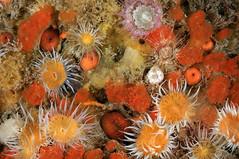Plymouth-201605-HandDeeps2-Anemone15 (Tony J Gilbert) Tags: plymouth marine macro underwater diving nikond300 handdeeps jameseaganlayne hilseapointrocks scylla ceeking wwwdivingplymouthcom