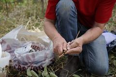 Palissage et greffes au verger de Fleury (s.goelzer) Tags: forêt fruitière palissage greffe
