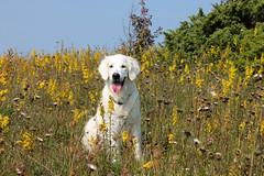 Ditte happy among the late summer flowers (Ingrid0804) Tags: goldenretriever latesummerflowers happy yellowflowers isntshesweet oldgold alovelylady happysmile
