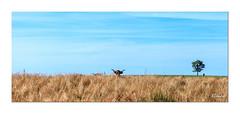 L'Aubrac (Ylliab Photo) Tags: art canon cow color eos5d france flickr aubrac ylliabphoto ylliab paysage lepaysagesimplement landscape nature outside potd:country=fr photographe vache