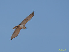 Joven de Culebrera europea (Circaetus gallicus) (2) (eb3alfmiguel) Tags: aves rapaces diurnas culebrera europea