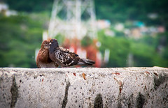 Pigeons At The Fort 1 (H.B. Sim) Tags: castillosanfelipedebarajas fort outdoor outdoors outside birds pigeons pigeon cartagena colombia polychrome hbsim tamron18200mm tamron nikond3300 nikon d3300 depthoffield depth subject dof bird animal animals southamerica