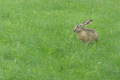 bunny having a breakfast (kipuna) Tags: rusakko ruoho kes suomi finland hare grass green summer
