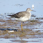 Lesser yellowlegs at Cape May Meadows thumbnail