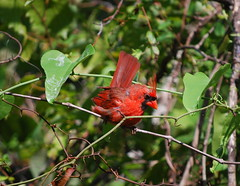 Northern Cardinal (NCReedplayer) Tags: bird huntingbeachstatepark huntington beach state park south carolina sc southcarolina cardinal northerncardinal songbird
