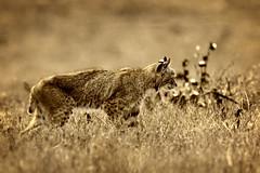 Bobcat Profile (lennycarl08) Tags: bobcat wildcat pointreyesnationalseashore california marincounty northerncalifornia wildlife