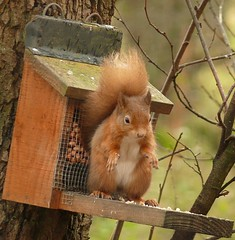 Squirrel at Feeder ! (Mara 1) Tags: nature squirrel feeder nuts tree brown white coat