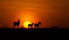 Kenya sunset (On Explore 08/24/2016) ( Mathieu Pierre photography) Tags: kenya sunset maasai mara safari f28 70200mm 7d canon eos vanguard tripod grip