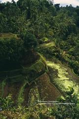 Bali, Gunung Kawi Sebatu, rice fields (blauepics) Tags: indonesien indonesia indonesian indonesische bali island ubud gunung kawi sebatu trees bume natur landscape landschaft reisfelder rice reis fields terraces terrassen green grn agriculture landwirtschaft