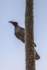 Noisy Friarbird (Geoffsnaps) Tags: noisy friarbird bird backyard back yard nikond810 nikon d810 fx noisyfriarbird nikonnikkor200500mmf56eedvrafs nikkor 200500mm f56e ed vr afs gitzogm5541carbonmonopod gitzo gm5541 carbon monopod acratechpanoramichead monopodhead acratech panoramic head grass tree grasstree feathers nature natural