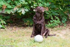 Lola Shots-5755.jpg (mhelv11) Tags: chocolatelab ball dog fetch