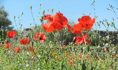 Italy 2015, Adrian's Villa (Padski1945) Tags: adriansvilla italy scenesfromoverseas flowersfromoverseas poppy poppies red artisticflowers artinfluenced