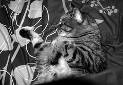 wake me when its over (Bets<3 Fine Artist ~Picturing Light ~ Blessings ~~) Tags: mainecoon maine cat sleeping blanket beauty pet whiskers ears paws face nose mouth model