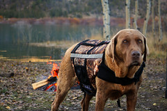 My Cabela's Dog... (cowgirlrightup) Tags: sadie 40d cabelaslifejacket camo ilovemydog bestfriend cowgirlrightup