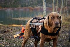 My Cabela's Dog... (cowgirlrightup) Tags: sadie 40d cabelaslifejacket camo ilovemydog bestfriend cowgirlrightup
