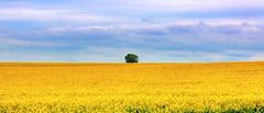 The golden sea (Majorimi) Tags: colza yellow sky blue lonely tree green hdr panorama nice canon eos 70d digital color colorful hungary calm gold sea golden spring mtra nature landscape discover ngc purple cloud