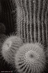 Cactus Black and White (frillicca) Tags: 2016 bn bw biancoenero blackandwhite cactacee cactus macro macrofotografia maggio pianta plant roma spine spinoso spur thorn thorny