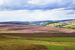 Moorland Pastures (maureen bracewell) Tags: landscape yorkshire heather purple countryside rural farming pastures fields england uk clouds cows moors northyorkshiremoors nature maureenbracewell hills summer august agriculture