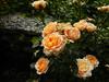 Orange roses in Balchik botanical garden, Bulgaria (cod_gabriel) Tags: bulgaria balchik balcic dobrogea dobruja dobrudja cadrilater botanicalgarden grădinăbotanică gradinabotanica