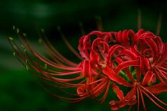 Red Spider Lily (aotaro) Tags: tamron90mmf28macro lycorisradiata ant saihotemple flowercloseup  flower ilce7m2 redspiderlily  japan yokohama