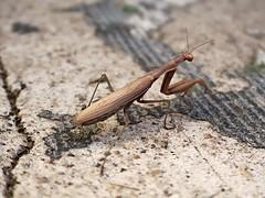 1 From Behind (Mertonian) Tags: prayingmantis 1frombehind mertonian awe wonder bug cement concrete macro robertcowlishaw canon powershot g7x mark ii canonpowershotg7xmarkii texture nature creature
