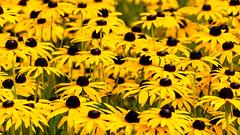 Helmsley Walled Garden (alh1) Tags: helmsleywalledgarden herbaceousborders england northyorkshire rudbeckia