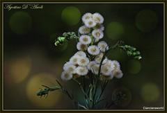Per i prati in autunno - Ottobre-2016 (agostinodascoli) Tags: nikon nikkor cianciana sicilia macro texture nature fiori piante agostinodascoli nikonclubit