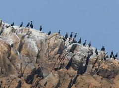 Cormorants on the rocks (andyt1701) Tags: jerseyseafaris jersey