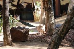 Darling Harbour - Wild Life Sydney Zoo (lukedrich_photography) Tags: australia oz commonwealth أستراليا 澳大利亚 澳大利亞 ऑस्ट्रेलिया オーストラリア 호주 австралия newsouthwales nsw canon t6i canont6i history culture sydney سيدني 悉尼 सिडनी シドニー 시드니 сидней metro city darling harbour cbd centralbusinessdistrict wildlife zoo australian animal adventure tourist site mammal marsupial kangaroo