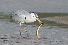 Heron Eel 5 (Ged Gill) Tags: leightonmoss eel heron slippery feeding