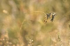 Je m'ballance . (bertolinijacques) Tags: macro proxy composition insecte papillon machaon gramine amourette bokeh pentax 300mmpentax france gard cvennes bordezac