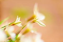 We will Shine (moaan) Tags: life flower zeiss t march spring flora dof bokeh 100mm kobe utata f2 ze ipheionuniflorum springstar f20 makroplanar 2013 inlife canoneos5dmarkiii zeissmakroplanart2100ze carlzeissmakroplanart100mmf2ze