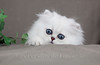 Les Persans de Fannie (Les Persans De Fannie) Tags: cats pets cat persian chats kitten chat yeux chinchilla animaux fannie regard chaton chatons persan sã©lection