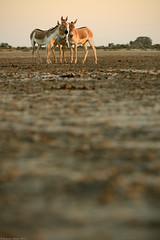 Guftagu (Ramesh Adkoli) Tags: landscape wildlife lrk capturenx littlerannofkutch d800e