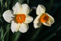 Daffodils at Cave Hill (David G Ruth) Tags: morning light cemetery nikon ky hill louisville cave daffodils d3200